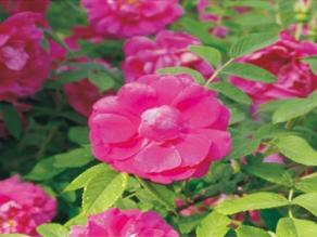 山西冷香玫瑰