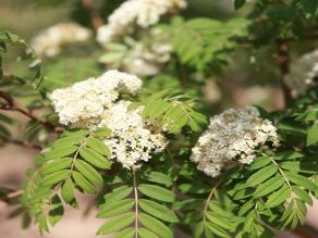 西伯利亚花楸